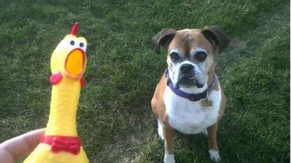 Obrázek Pískací kuře